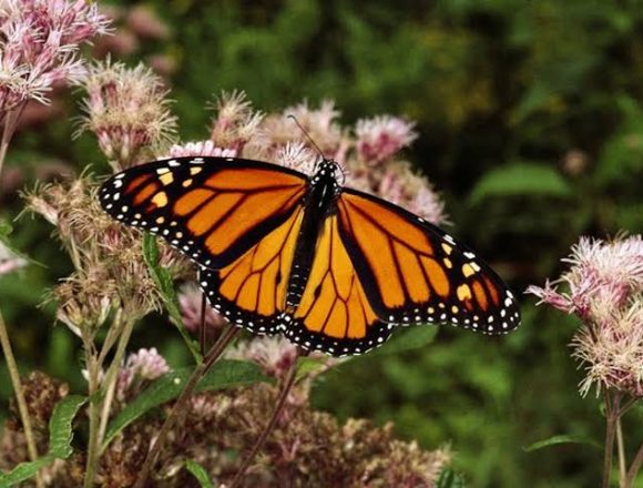 Monarch Butterfly Migration to Pass Through San Miguel de Allende